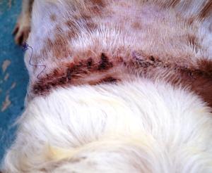 2. En av hundene hadde et stort sar rundt halsen.